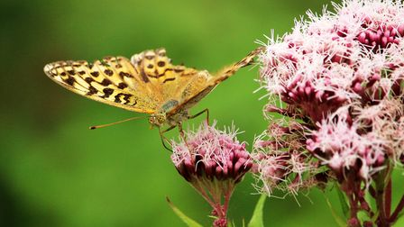 A small pearl-bordered Fritillary at Foxley Woods. Picture: Peter Dent
