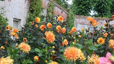 The beautiful colourful dahlias at Blickling walled garden. Picture: Martin Sizeland