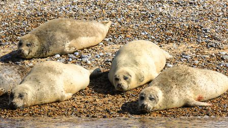 Seals, mostly Grey seals and pups, just lazing around on Blakeney Point