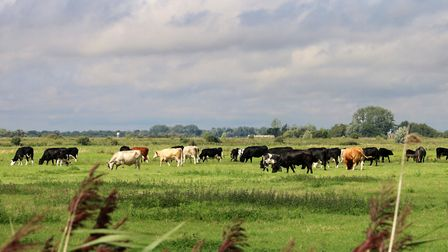 Cattle on Ludham marshes. Picture: Peter Dent