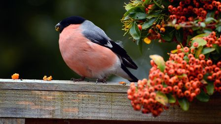Lovely bullfinch eating berries in the garden. Picture: Terry Aspittle
