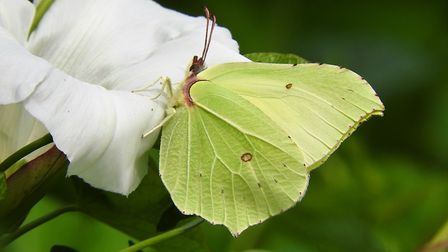 A brimstone butterfly visiting a bindweed flower. Picture: Liz Murton