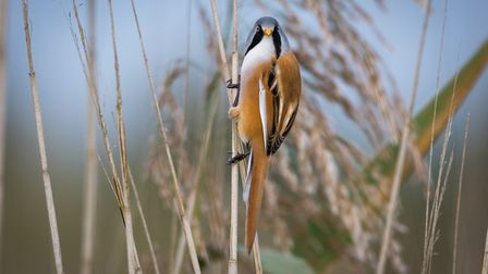 Lovely bearded tit. Picture: David Brooker