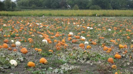 A lovely field of pumpkins spotted from the car. Picture: Valerie Bardsley