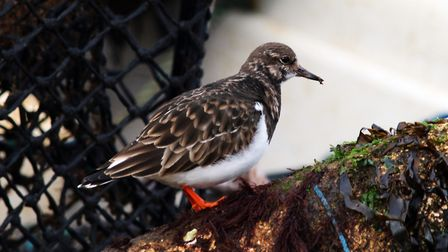 Lovely turnstone foraging for food at Sheringham. Picture: Robina Churchyard