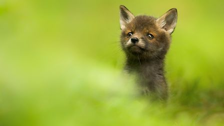 A 'highly commended' photo of a fox by Luke Wilkinson, who lives in North Walsham. Picture: Courtesy