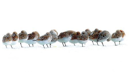 Sleepy sanderlings by Paul Richards - one of the North Norfolk Photographic Society winners. Pictur