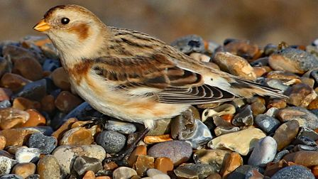 Snow bunting at Salthouse. Photo: Peter Dent