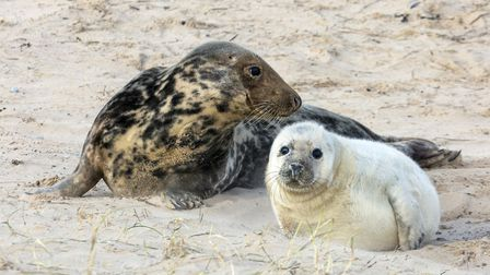 Record-breaking year for grey seal pupping at Blakeney Point. Picture: Ian Ward/ National Trust