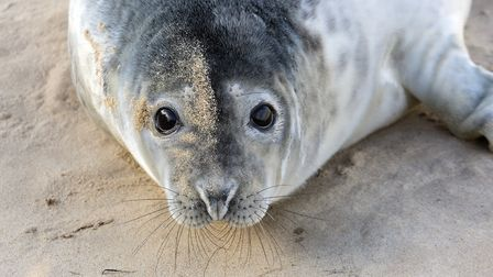 Record-breaking year for grey seal pupping at Blakeney Point. Pictures: Ian Ward/ National Trust