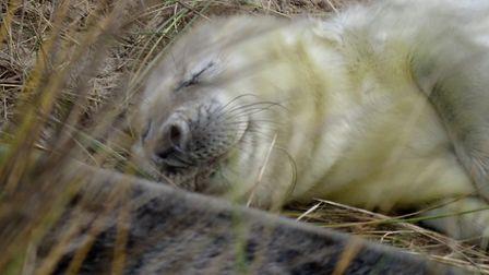 Seals at Horsey. Picture: Julie Dwyer