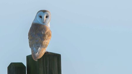 Barn owl on the Norfolk marshes. Picture: Brian Shreeve