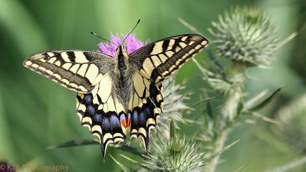 A Swallowtail butterfly on the Norfolk broads Photo: Kenny Brooks