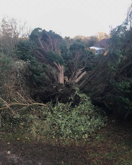 A huge fire tree was blown over in heavy winds overnight. The tree caused damage and knocked out the