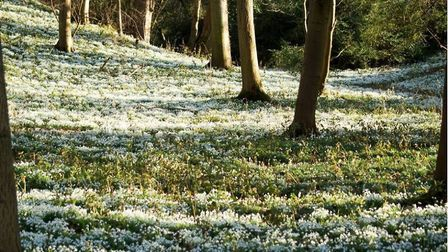 The wonderful garden of snowdrops at Walsingham Abbey