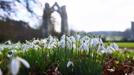 Woodland at Walsingham Abbey is carpeted with snowdrops. Picture: Ian Burt