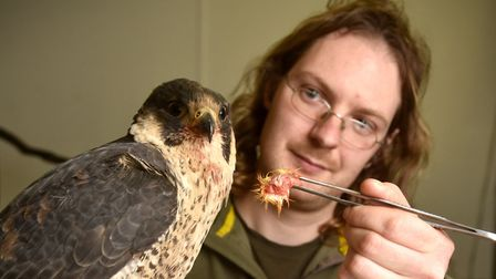 Injured Peregrine Falcon being looked after at Wild Touch Wildlife Centre at Bacton. David Carr feed
