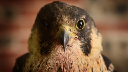 Injured Peregrine Falcon being looked after at Wild Touch Wildlife Centre at Bacton. Picture: ANTONY