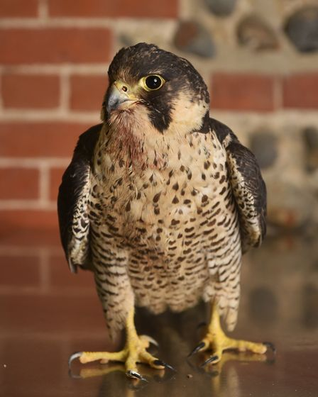Injured Peregrine Falcon being looked after at Wild Touch Wildlife Centre at Bacton.Picture: ANTONY