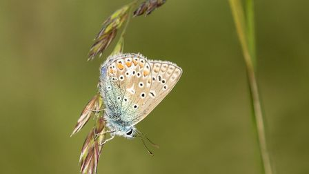 Common Blue of Drooping Grass by Judith Wells.