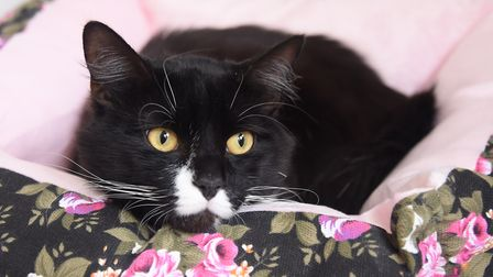 Rescued cat Hammerhead at the RSPCA East Norfolk Broadland cattery at Ingham, snuggles down in a new