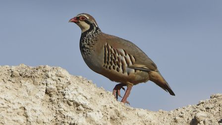 Red-legged Partridge Photo: Jessica Treasure