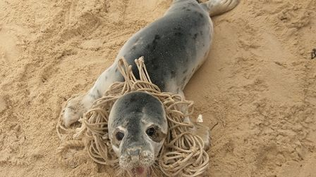The seal that was rescued at Waxham beach. Picture: DAN GOLDSMITH