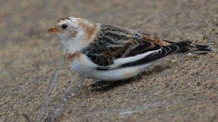 Snow bunting on the prom in Sheringham. Photo: Robert Cumber