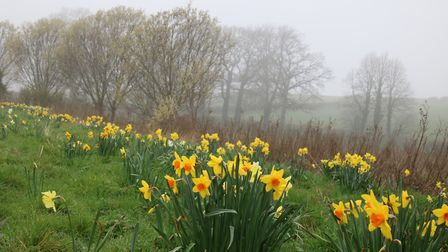 Beautiful Daffodils growing by the River Stiffkey at Little Walsingham on a misty day. Photo: Martin