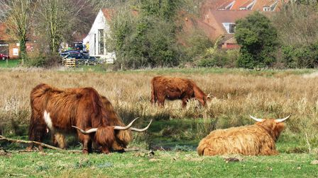 Highland Cattle at Horstead Mill Photo: Peter Dent