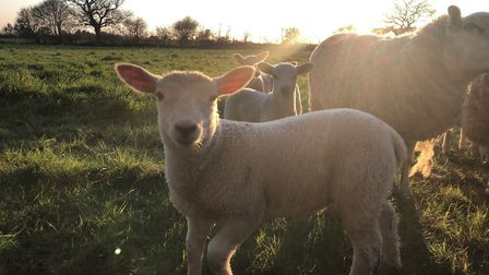 Spring lambs out in the grass enjoying the sun Photo: Rebecca Egmore