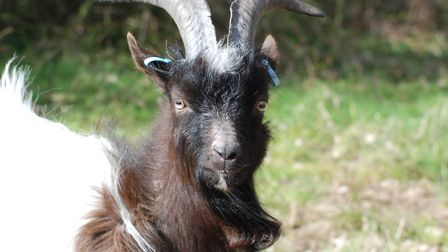 The Bagot goats will return to Cromer today. Picture: NNDC