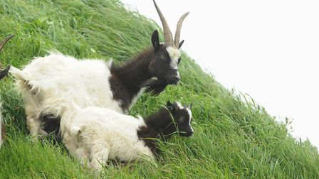 The Bagot nanny goats and kids are released onto the cliff at Cromer. Picture: DENISE BRADLEY