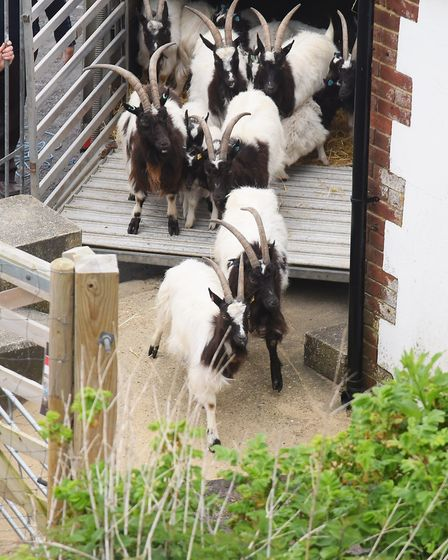 The nanny Bagot goats and kids being released onto the cliff at Cromer. Picture: DENISE BRADLEY
