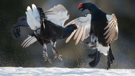 Black Grouse Lekking, by Judith Wells, was among the entries in the North Norfolk Photographic Socie