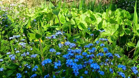 Forget-me-nots and pond flowers at Thorpe Market churchyard. Pictures: Supplied by Thorpe Market chu