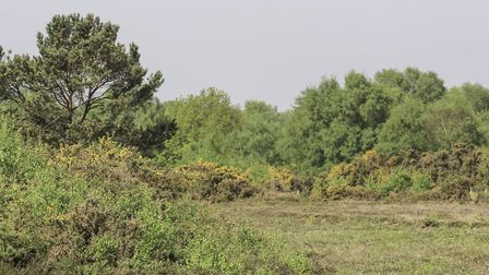 The Gorse flowers may be starting to die off but the heath still looks lovely in the sunshine. Photo