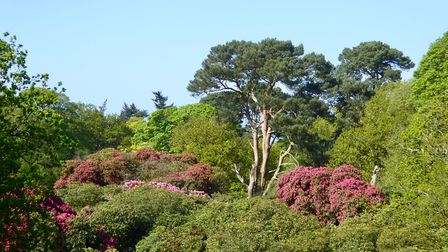 The rhododendrons are coming out nicely at Sheringham Park. Photo: Julie Forst