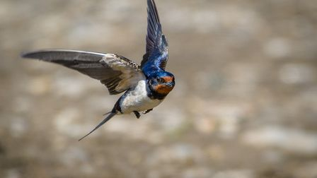 Swallows diving down for the mud to build their nest. Photo: David Brooker