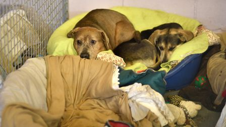 Dogs rescued from a puppy farm in Wales being cared for at Hillside Animal Sanctuary.Picture: ANTONY