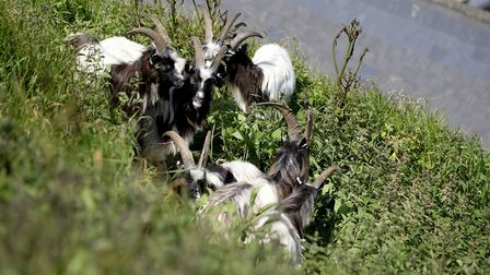 Goats are released on Melbourne slope in Cromer to help with keeping the slope vegetation clear. Pic