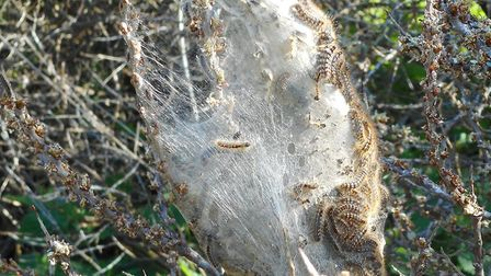 The caterpillars are nesting in Cromer and Bacton. Picture: NNDC