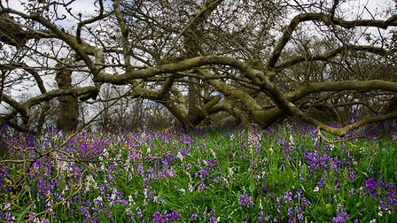 A beautiful walk around the Blickling Hall Estate seeing the beautiful colourful Bluebells. Photo: G