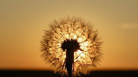 Lovely evening with the sun setting behind a dandelion. Photo: Stephen Retchless