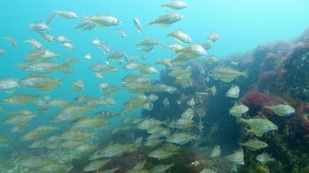 Fish on the Cromer chalk reef. Picture: Archant