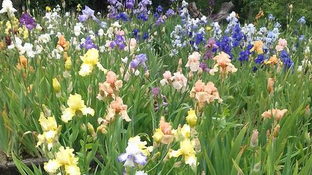 The National Collection of Tall Bearded Irises. Picture: The English Iris Company