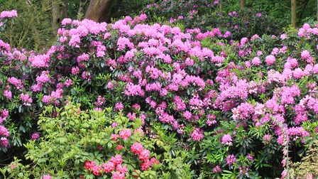 The Beautiful Rhododendrons in their various colours in Sheringham Park. Photo: Richard Brunton