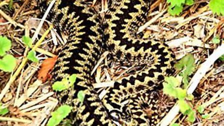 An adder at Pretty Corner Woods at Sheringham. Picture: JO JOHNS
