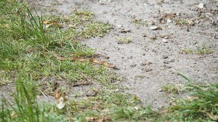 A young adder - about 6in - seen on Syderstone Common last week. Picture: NEIL DYSON