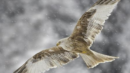 Leucistic Red Kite, by Paul Richards, winner of the advanced section. Photo: Courtesy of Paul Richar